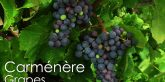 carménère wines